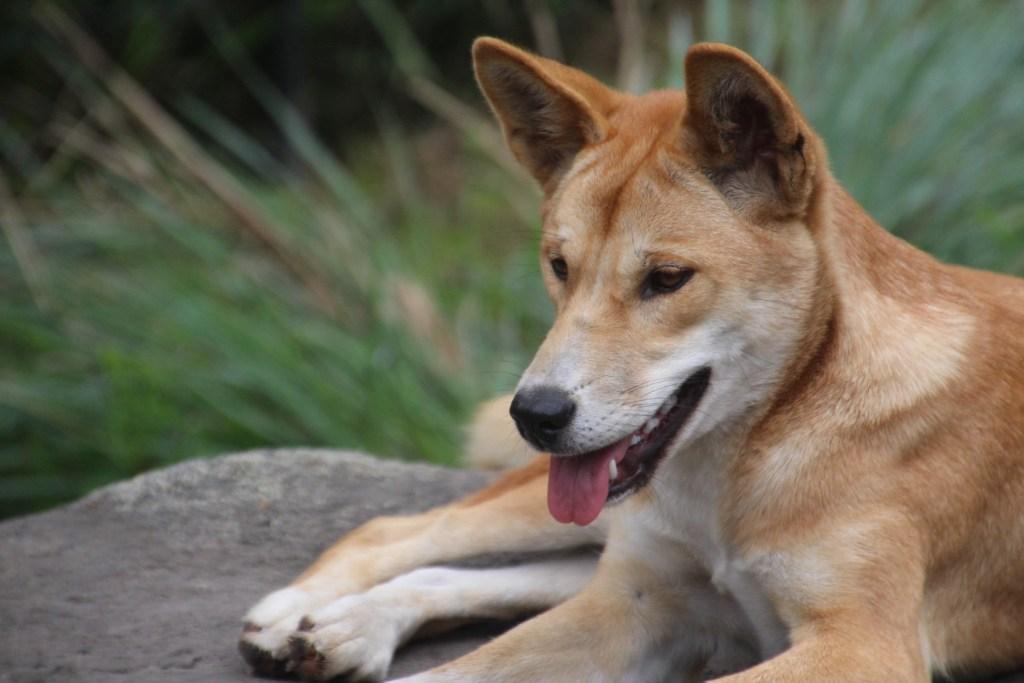 La dingo est un chien sauvage australien