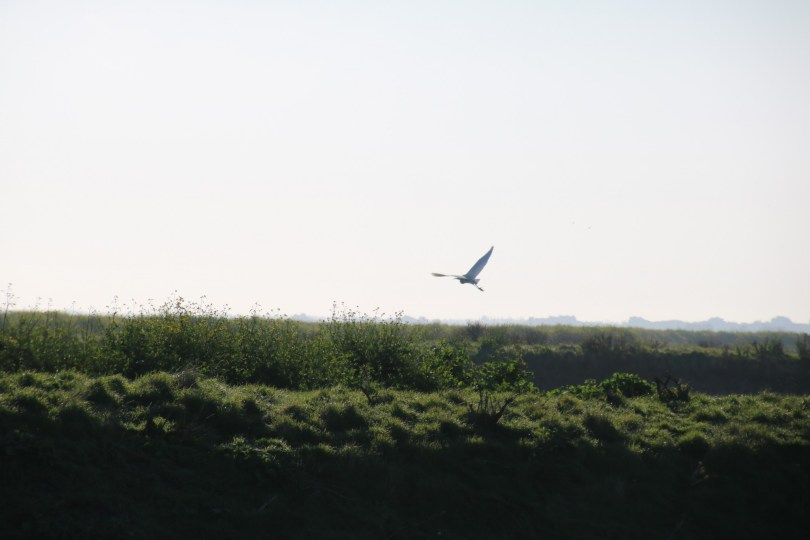 vol d'oiseau dans la réserve de lilleau des niges