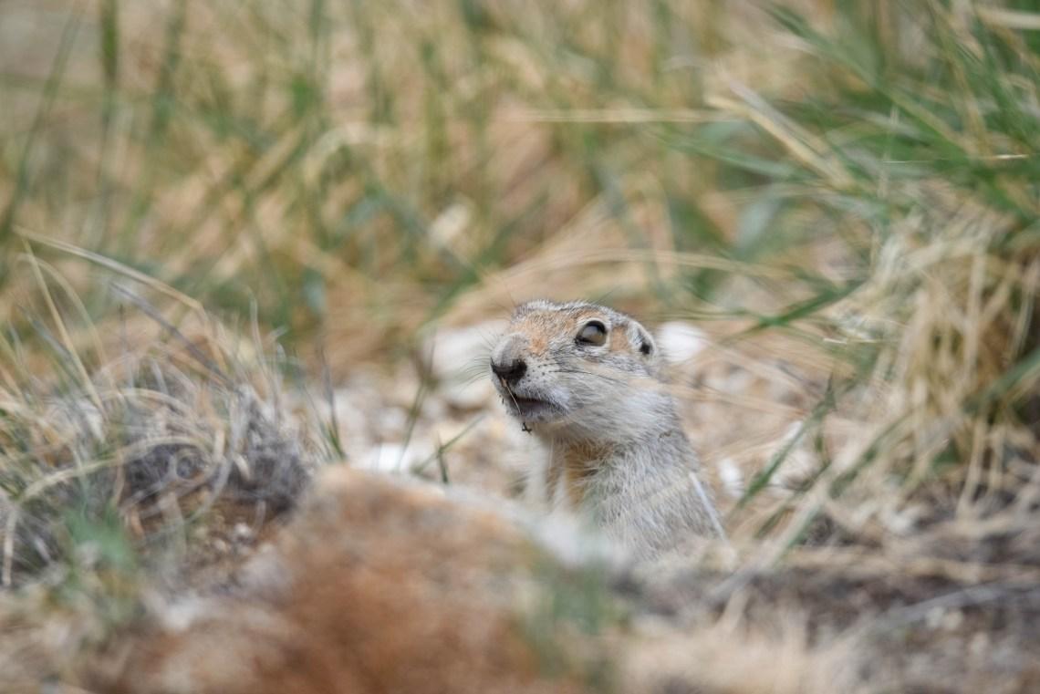 écureuil de sibérie