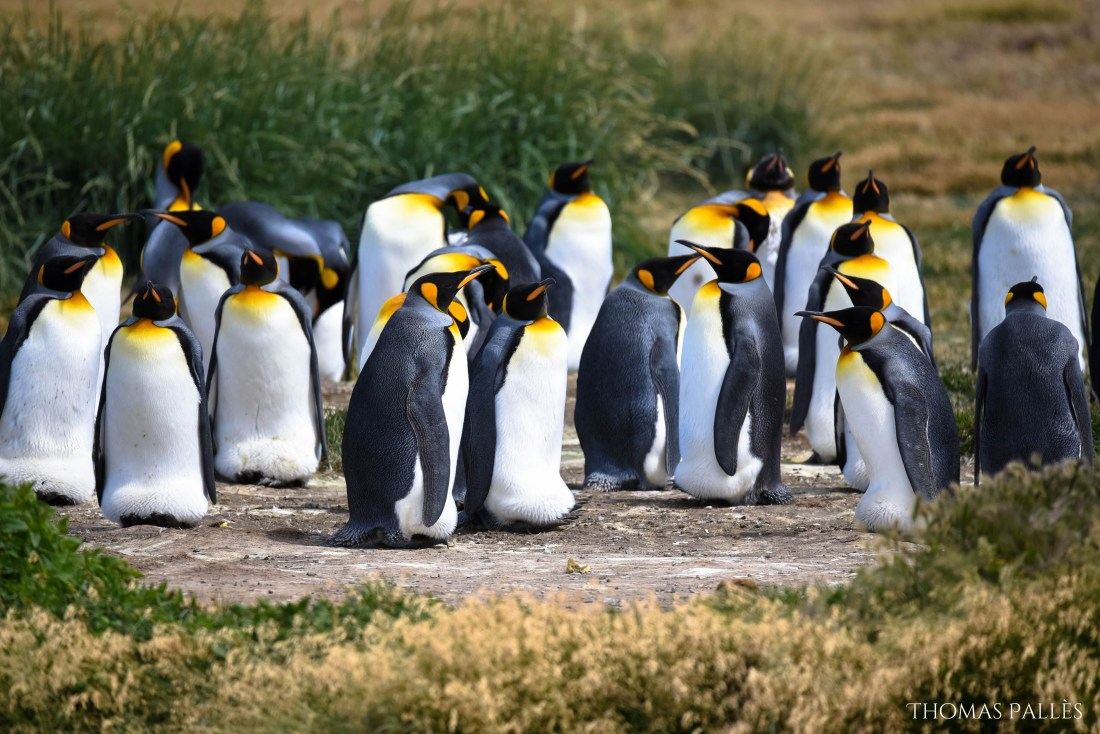 Manchot roi en Patagonie chilienne