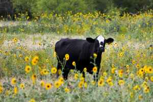 black cattle on bed of yellow petaled flowers