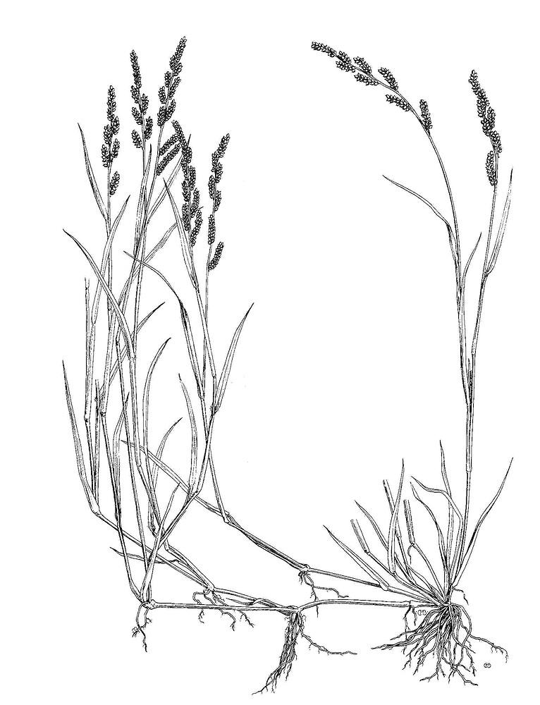 Genus Echinochloa Barnyard Grass Go Botany