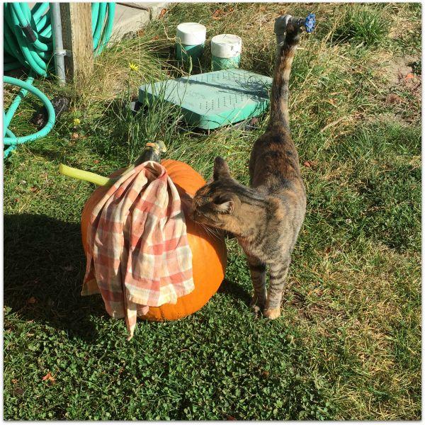 wine pumpkin cat