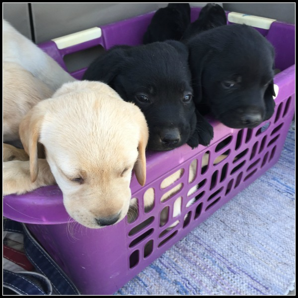 puppies basket