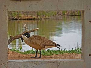 Goose at the Rio Grande Nature Center