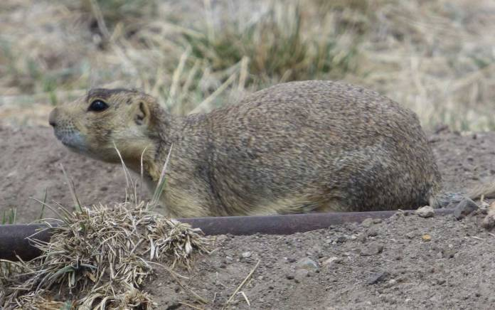 Prairie Dog at the Valles Caldera
