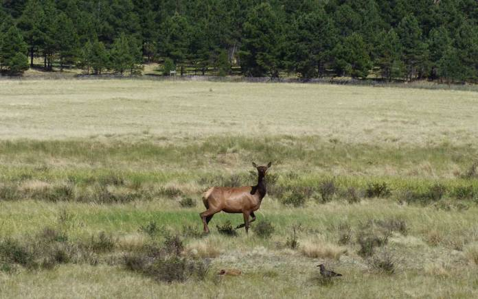 Elk at the Valles Caldera