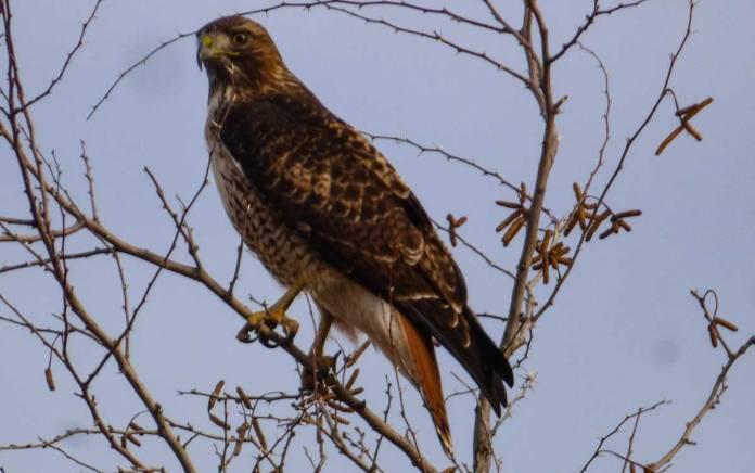 Hawk at Bosque del Apache
