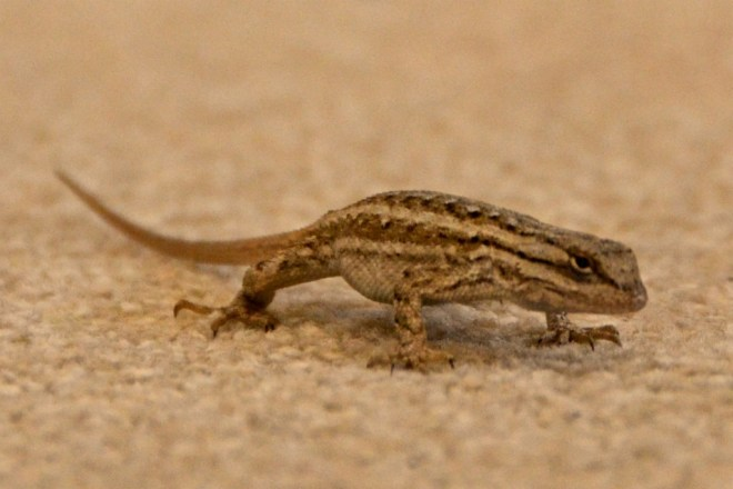 Angry Whiptail