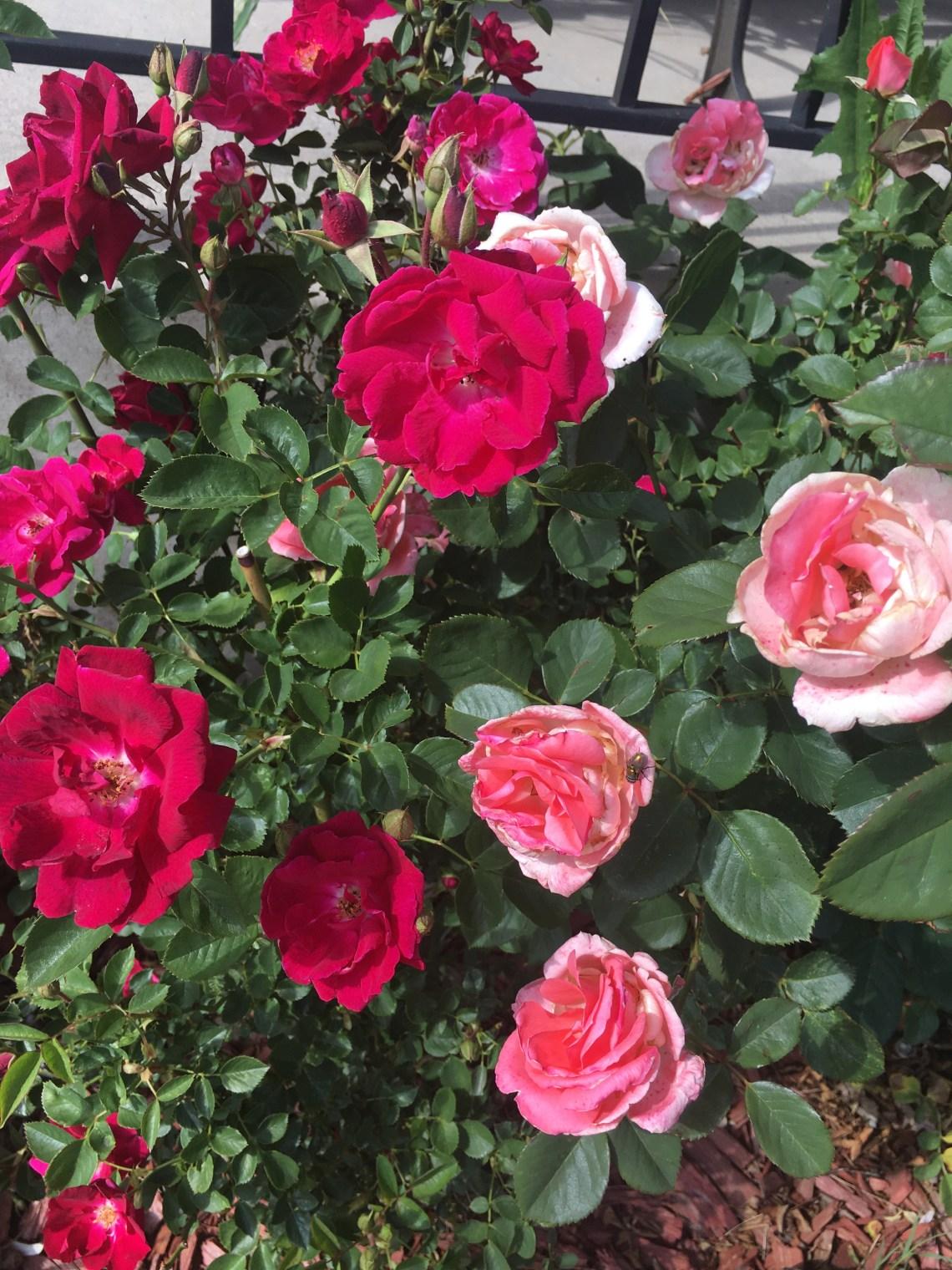DIY rosewater