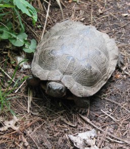 Wood Turtle in the woodland at Catskill Native Nursery