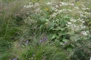 Parthenium integrifolia - Wild quinine
