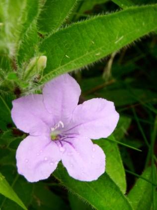 Ruellia humulis (Wild Petunia)