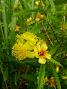 The flamboyant flowers of Hypericum prolificum (Shrubby St. John's Wort)