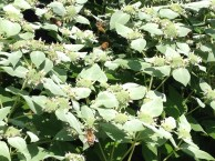 Honey Bees seem to flock to mountain mint,