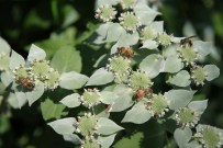Wasps and bees alike enjoy the offerings of Mountain Mint
