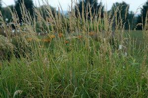 Cool-season Calamagrostis canadensis