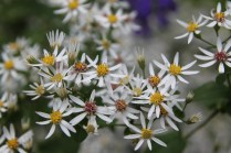 The flowers of White Wood Aster