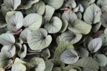 Viola walteri Silver Gem