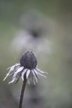 Seedhead of Rudbeckia.