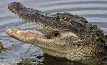 Alligator eating Blue Crab