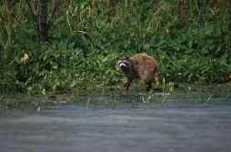 Raccoon searching for food on the banks