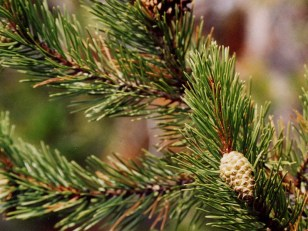 A tiny developing pine cone in Yellowstone Park.