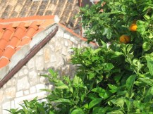 Ripening oranges next to a house in Dubrovnik, Croatia.
