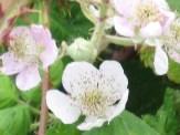 FlowersCanadaBrambles