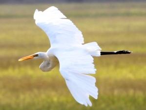 home-photos-great-egret.jpg