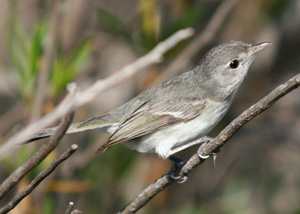 Least Bell's Vireo