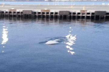 Beluga whales quonset