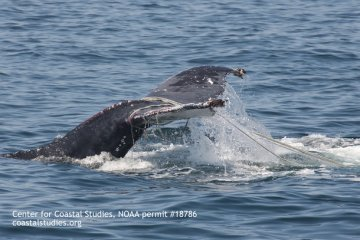 Humpback whale great white