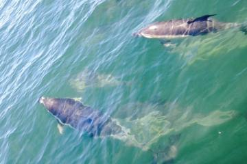 Dolphins Newport Harbor