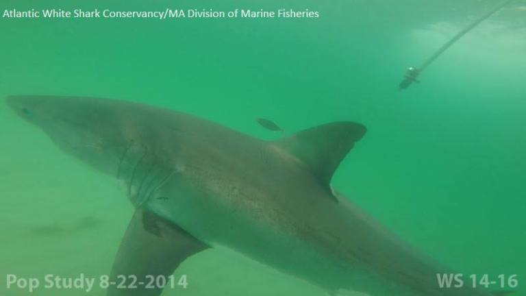 scratchy great white shark
