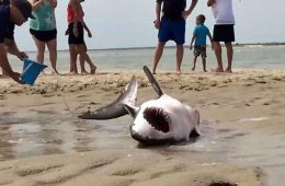 Jamison White Shark