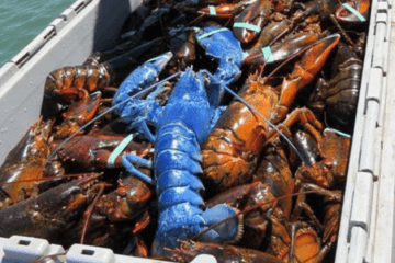 Blue Lobster Cape Cod