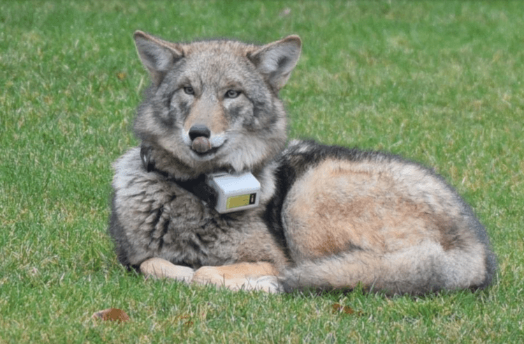 cliff-the-coyote