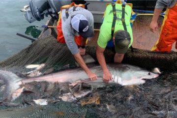 Great White Shark Tagged Rhode Island