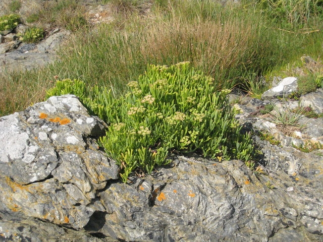 Find Samphire in Newquay
