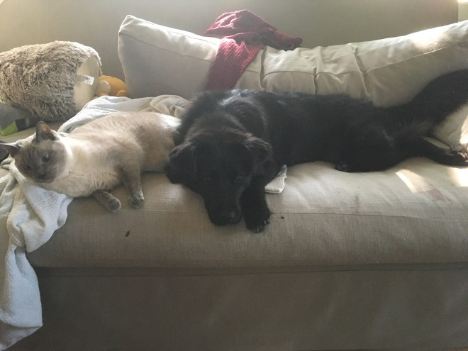Siamese cat and black mixed breed dog on grey sofa with assorted sweaters and stuffed animals