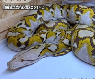 ニシキヘビ