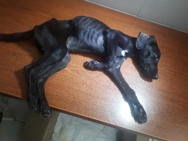 Хозяйка приюта довела собаку до полного истощения в Ессентуках