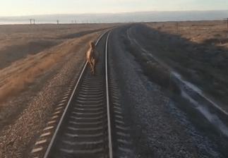 В Астраханской области поезд на два часа опоздал из-за верблюда