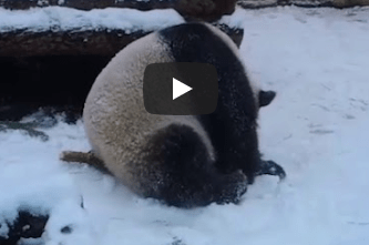 Милая панда из московского зоопарка показывает, как правильно утилизировать ёлку после новогодних праздников