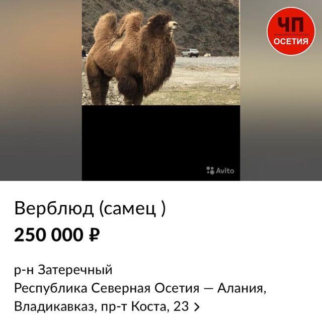 Популярного у детей верблюда Гришу продают на «Авито» в Северной Осетии