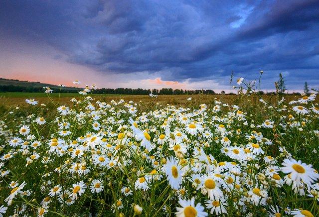 Любители селфи уничтожили ромашковое поле на Ставрополье