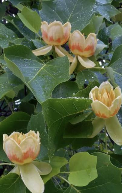 В Железноводске появились тюльпановые деревья