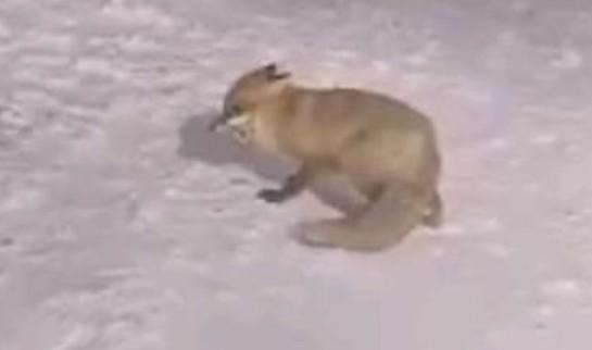 Голодная сочинская лиса вышла к людям в поисках еды