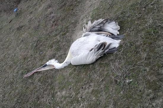 Более 40 мертвых кудрявых пеликанов обнаружили в Дагестане